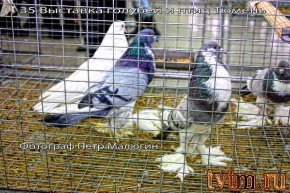 Фотографии с Тюменской 35 выставки голубей и птиц.
